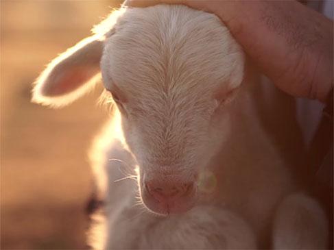 全球最好的羊毛之一—澳大利亚美丽诺(merino)羊毛